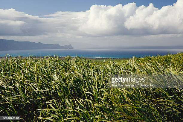 sugar cane field on west maui with the pacific ocean, mountains, clouds and blue sky in the background - timothy hearsum stock-fotos und bilder