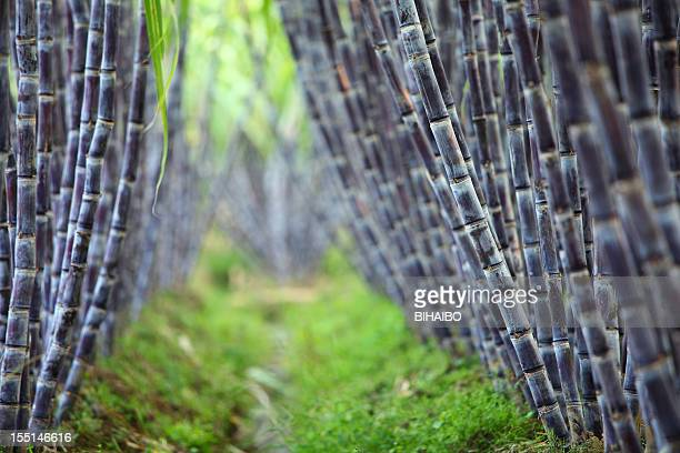 sugar cane field - sugar cane stock pictures, royalty-free photos & images