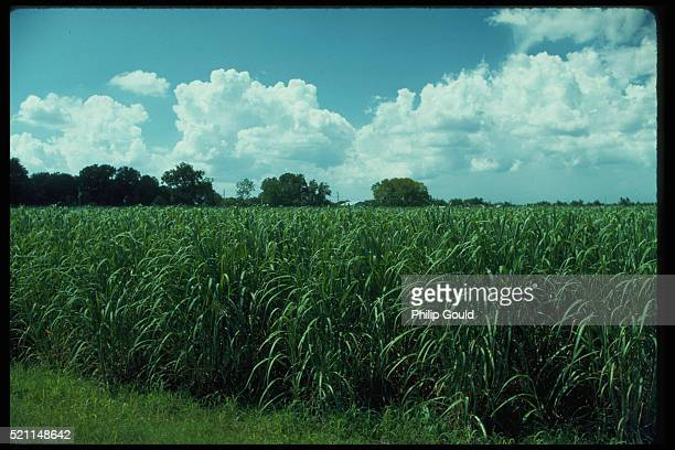 sugar cane field - louisiana stock photos and pictures