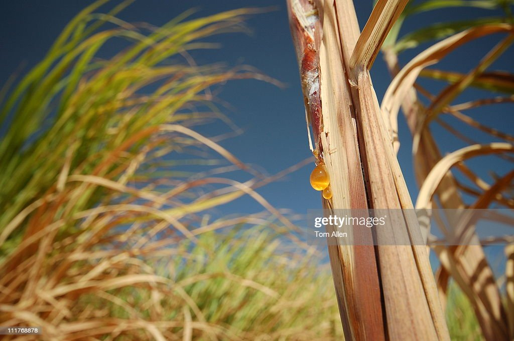 Sugar cane fields in Egypt : Stock Photo