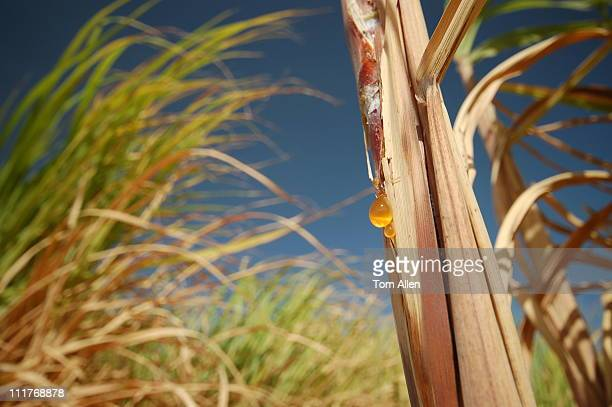 sugar cane fields in egypt - sugar cane stock pictures, royalty-free photos & images