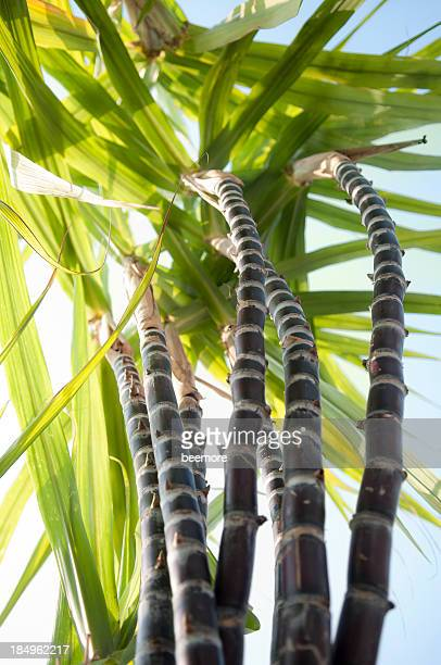 sugar cane from below - sugar cane stock pictures, royalty-free photos & images