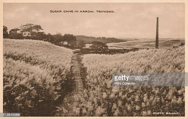 Sugar Cane in Arrow Trinidad' circa 1900 [Davidson and Todd Ltd Trinidad circa 1900] Artist Unknown