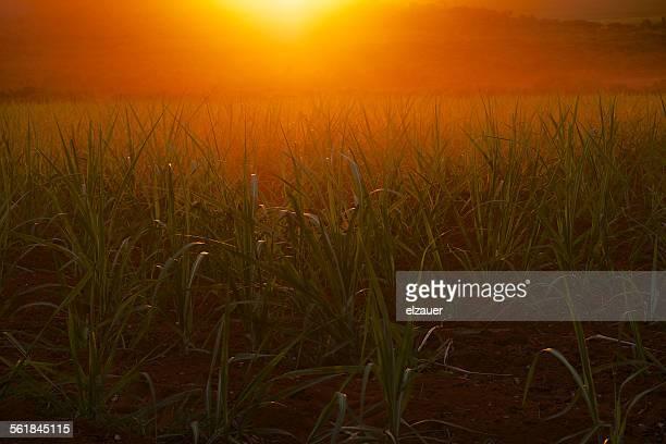 Sugar cane in Brazil