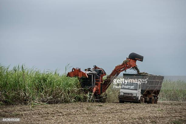 Sugar cane is harvested in a farm that belongs to Guarani SA about 50 km from Sao Jose do Rio Preto Brazil on Tuesday October 8th 2013