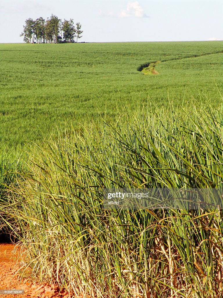 Sugar Cane : Stock Photo