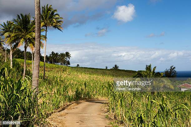 Sugar cane plantation on Réunion