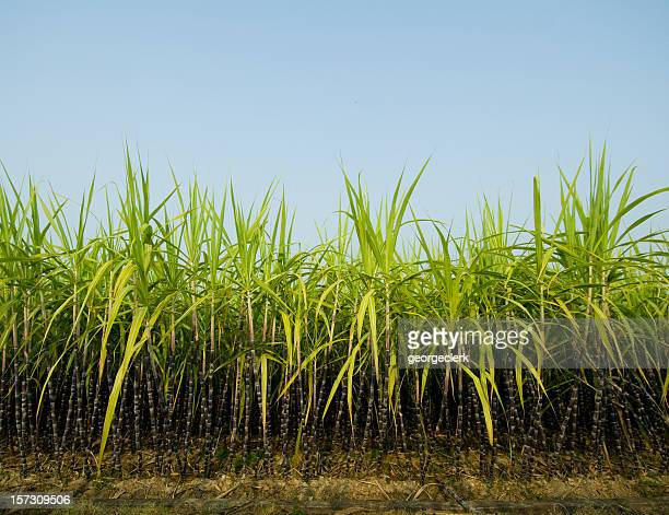 Sugar Cane Stock Photos and Pictures | Getty Images