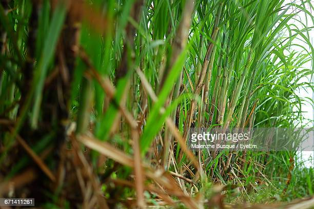 Sugar Canes Growing On Field