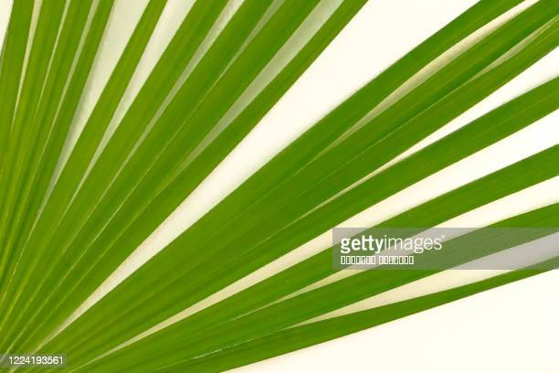 sugar date palm leaf on contemporary bleached light painted white beige natural wood oak background - 漂白した ストックフォトと画像