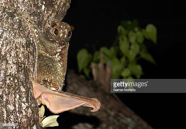 sugar glider hider - flying lemur stock pictures, royalty-free photos & images