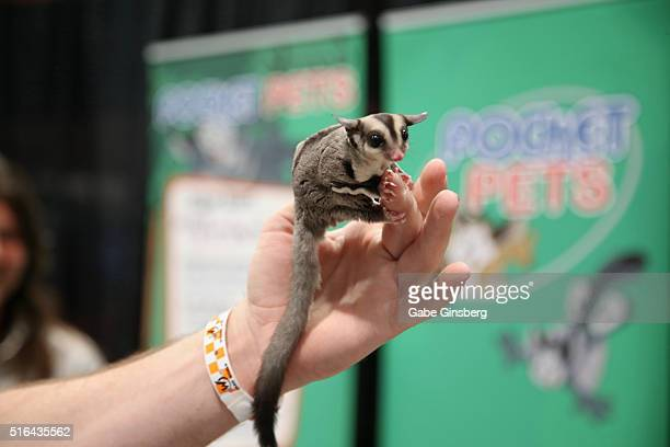 A sugar glider is displayed in the Pocket Pets booth during Wizard World Las Vegas at the Las Vegas Convention Center on March 18 2016 in Las Vegas...