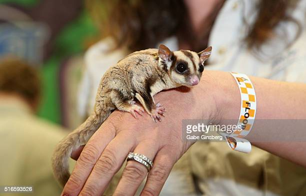 A sugar glider is displayed in the Pocket Pets booth during Wizard World Las Vegas at the Las Vegas Convention Center on March 19 2016 in Las Vegas...