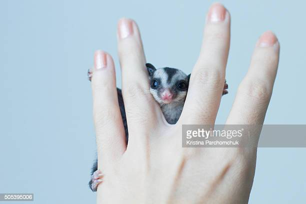 sugar glider joey - sugar glider stock photos and pictures