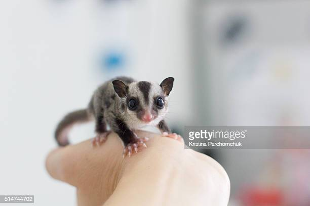 a sugar glider joey (baby) - sugar glider stock photos and pictures