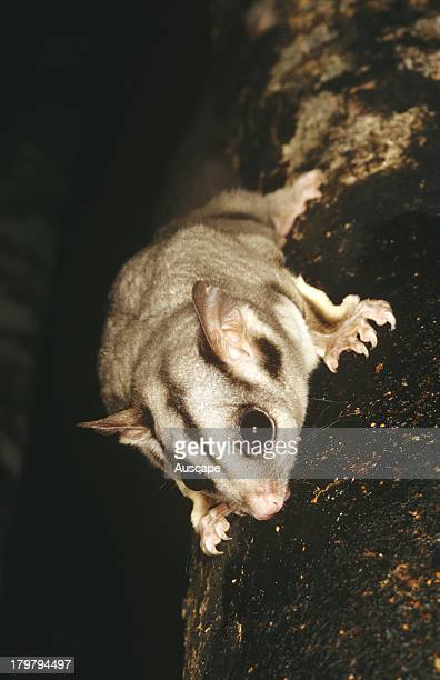 Sugar glider Petaurus breviceps descending tree headfirst Lake Eacham National Park Queensland Australia
