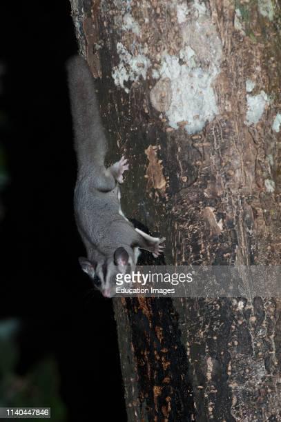 Sugar Glider Petaurus breviceps on tree at night Queensland Australia