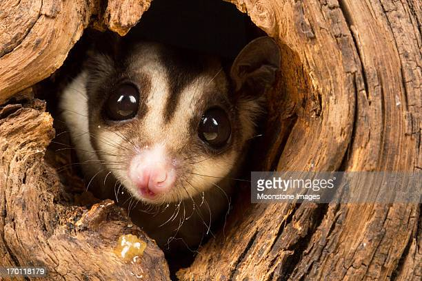 sugar glider - animal stock pictures, royalty-free photos & images