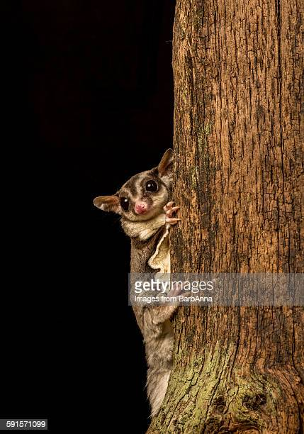 sugar glider - sugar glider stock photos and pictures