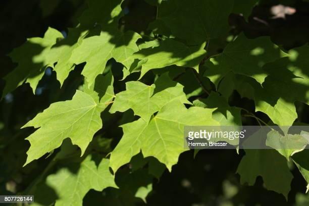Sugar Maple Leaves  Acer Saccharum