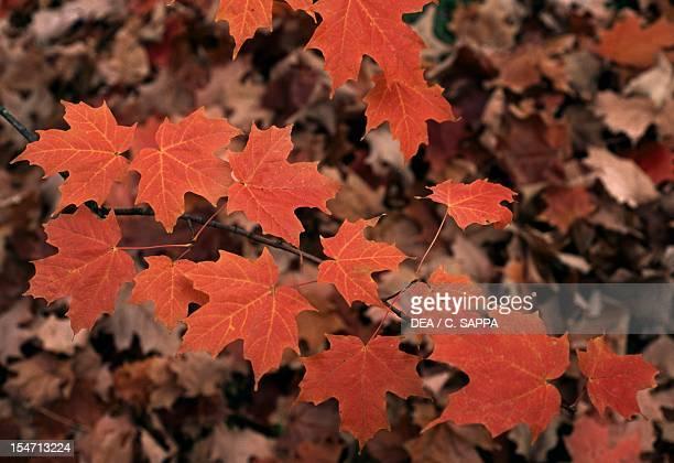 Sugar Maple leaves AceraceaeSapindaceae