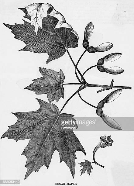 Sugar Maple leaves and seeds Undated engraving BPA2