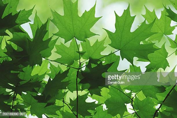 Sugar maple leaves (Acer saccharum)