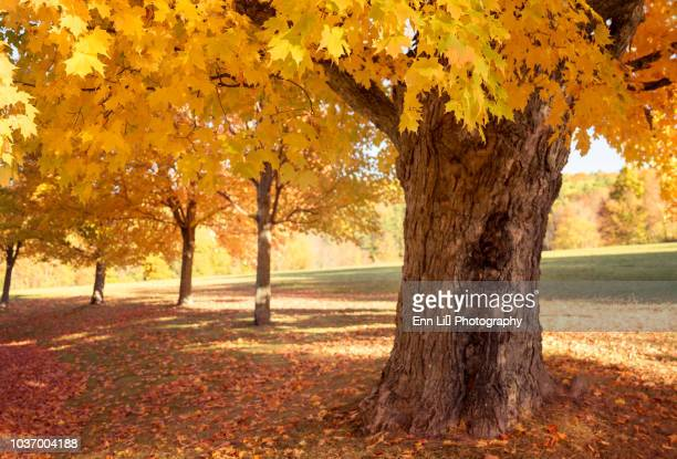 sugar maple trees in fall - acero foto e immagini stock