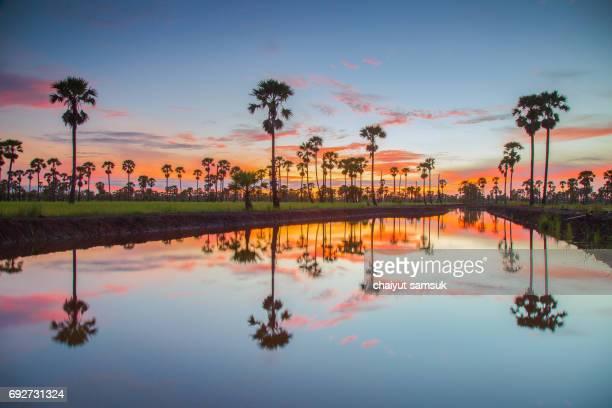 Sugar Palm Tree and Rice field at Phetchaburi Thailand in Sunlight
