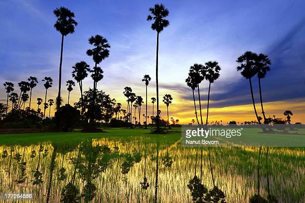 Sugar palm tree on rice fields (Sunset) Thailand