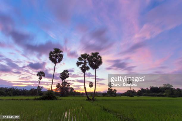 Sugar palm trees on the paddy field in early morning.