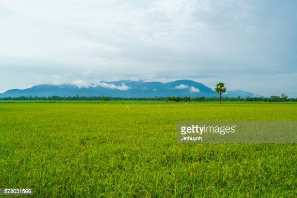 Sugar palm trees on the paddy field in morning. Mekong Delta, Chau Doc, An Giang, Vietnam