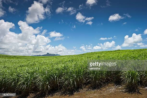 sugarcane field - sugar cane stock pictures, royalty-free photos & images