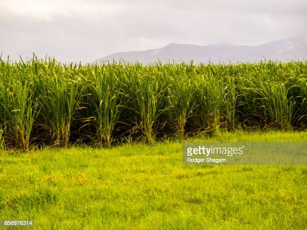 sugarcane field - サトウキビ ストックフォトと画像