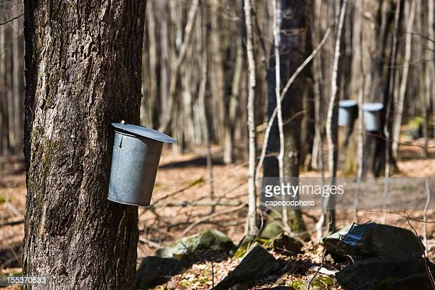 sugaring time - maple sugaring stock photos and pictures