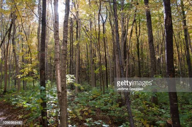 sugar-maple yellow birch forest understory - foresta temperata foto e immagini stock