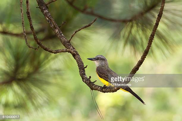 suiriri flycatcher - crmacedonio imagens e fotografias de stock