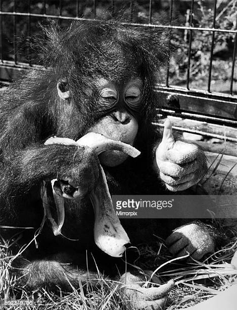 Suka the baby orangutan enjoys a feast of bananas at London Zoo August 1972