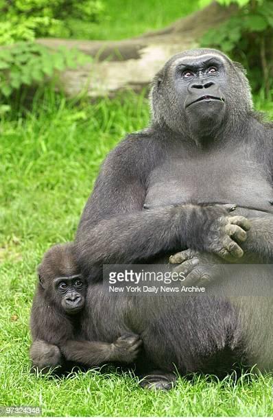 Suki a male gorilla born last July clings to mom Triska at the Bronx Zoo
