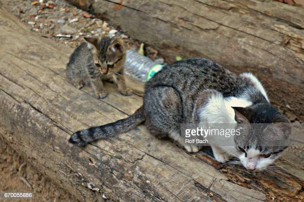 indonesien, sulawesi , cats in  kete kesu - rantepao stock photos and pictures