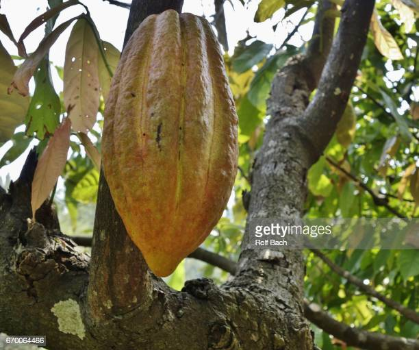 sulawesi, cocoa plant - rantepao stock photos and pictures