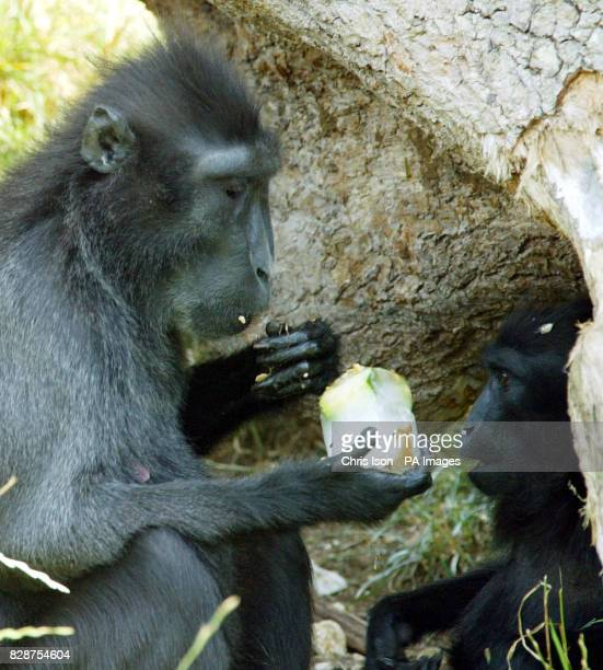 A Sulawesi Crested Macaque and her infant cool off at Marwell Zoo near Winchester in Hampshire with fruit icecubes as temperatures soared into the...