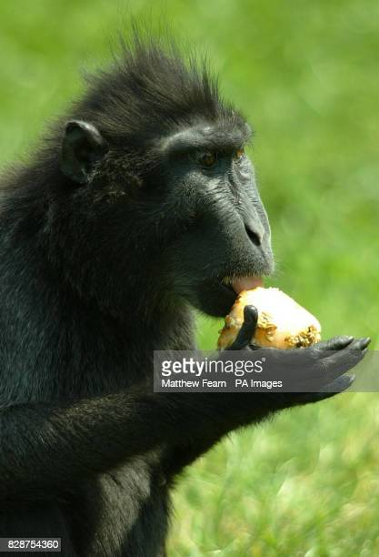 A Sulawesi Crested Macaque licking a fruit icecube to cool off at Marwell Zoo near Winchester in Hampshire as temperatures soared into the mid 30's...