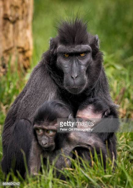 Sulawesi Crested Macaque Mother and Babies