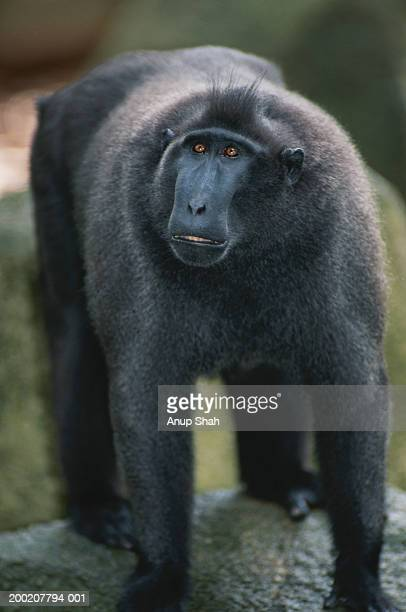 Sulawesi crested macaque (Macaca nigra) standing, captive, Sulawesi