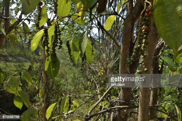 sulawesi, landscape , spices of all kinds grow here (pepper ) - rantepao stock photos and pictures