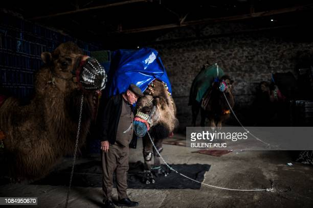 Suleyman Cobanoglu 60 years old pets his camel for Selcuk Camel wrestling festival in the town of Selcuk near the western Turkish coastal city of...