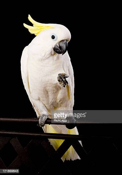Sulfur Crested Cockatoo Close-Up
