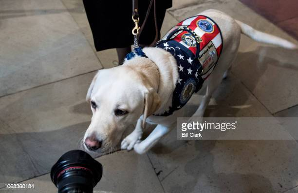 Sully former US President George H W Bush's service dog sniffs a photographer's lens as he's led into the Capitol Rotunda as the former president...