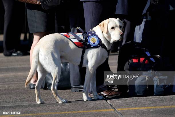 Sully the yellow Labrador retriever service dog of former President George HW Bush waits as joint services military honor guard carry the flagdraped...